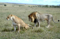 Lion and lioness in the Maasai Mara.
